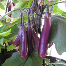 Aubergine violett - Slim Jim