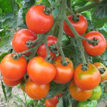 Samenset Tomaten Basic