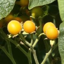 Zwergbaumtomate - Samtpfirsich