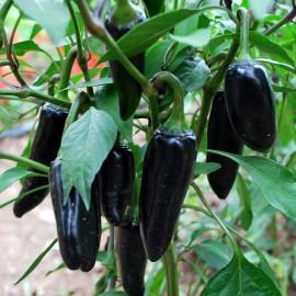 Chili - Black Hungarian