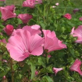 Bechermalve - Zierpflanze