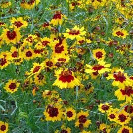 Schöngesicht - Zier- und Färbepflanze