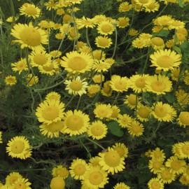 Färberhundskamille - Wildpflanze
