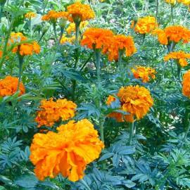 Färbertagetes - Zier- und Färbepflanze