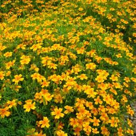 Polster-Studentenblume - Zierpflanze