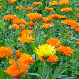 Ringelblume - Zierpflanze