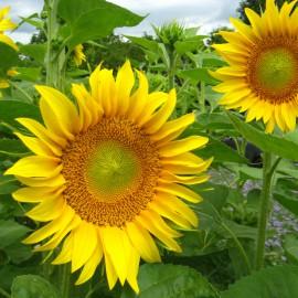 Sonnenblume gelb - Zierpflanze