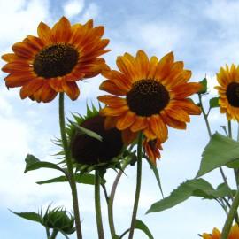 Sonnenblume rot-bunt - Zierpflanze