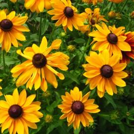 Sonnenhut - Zierpflanze