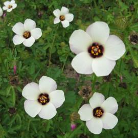 Stundenblume - Zierpflanze