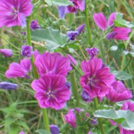 Wilde Malve - Zierpflanze