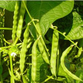 Stangenbohne grün - Lippoldsberger Weiße Perle