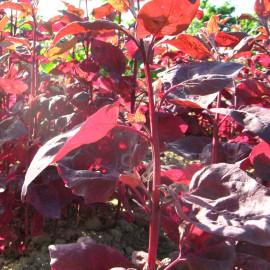 Gartenmelde, rot - Rarität / alte Gemüsesorte