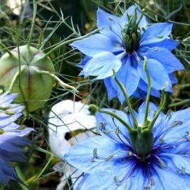 Jungfer im Grünen - hellblau - Zierpflanze