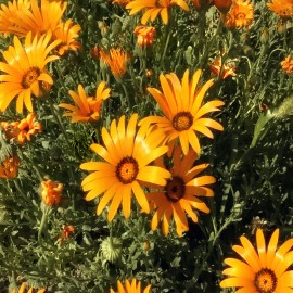 Kapringelblume, Buschige - Zierpflanze