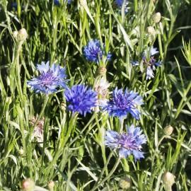 Kornblume blau - Zierpflanze