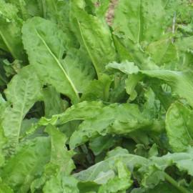 Garten-Sauerampfer - Würzkraut