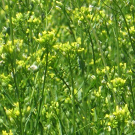 Leindotter - Zier- und Stützpflanze