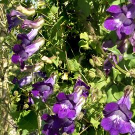 Löwenmäulchen, Kletter- - Zierpflanze