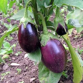 Aubergine violett - Pana Corbului 36