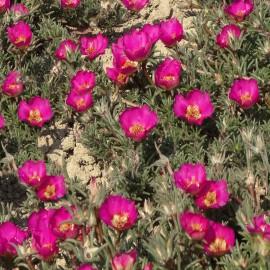 Portulakröschen - Pink