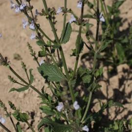 Räuchersalbei, Afrikanischer - Zierpflanze