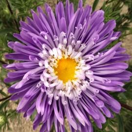 Sommeraster, Mischung - Zierpflanze