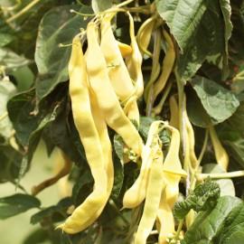 Stangenbohne gelb - Goldfield