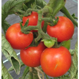 Tomate - Cerise rot