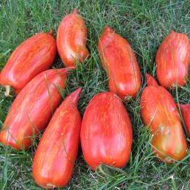 Tomate - Feuer und Flamme