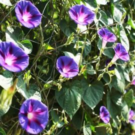 Prachtwinde - blauviolett