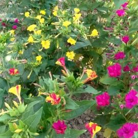 Wunderblume - Bunt