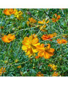 Cosmea - Orange