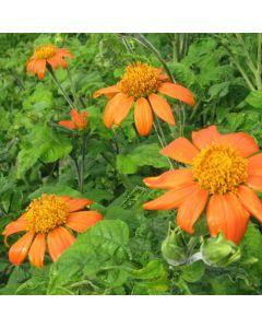 Mexikanische Sonnenblume - Zierpflanze