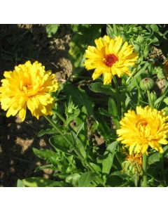 Ringelblume gelb - Zierpflanze