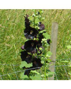 Stockrose, schwarz - Zier- und Färbepflanze