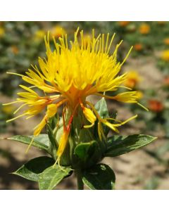 Färberdistel - Zier- und Färbepflanze
