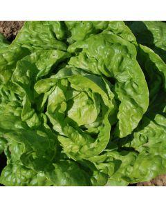 Salat, Kopf - Wunder von Stuttgart