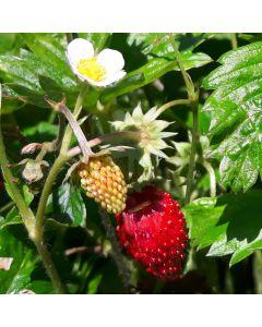 Monatserdbeere - Rügen