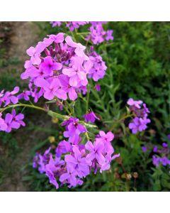Nachtviole, Ausdauernde - Zierpflanze