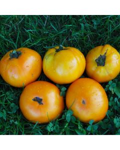 Fleischtomate - Orange Bulgarische