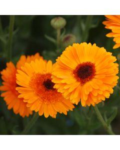 Ringelblume - Princess orange Black Center