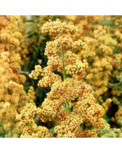 Quinoa - Inkagold