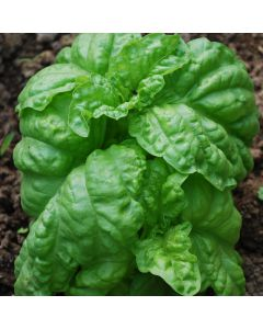 Basilikum - Salatblättriges