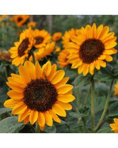 Sonnenblume - Kleine Orange