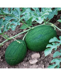 Wassermelone - Sweet Siberian