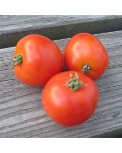 Tomate (Busch-) - Rotkäppchen
