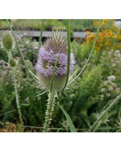 Wilde Karde - Zierpflanze