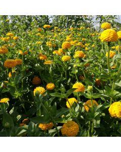 Zinnie, kanariengelb - Zierpflanze